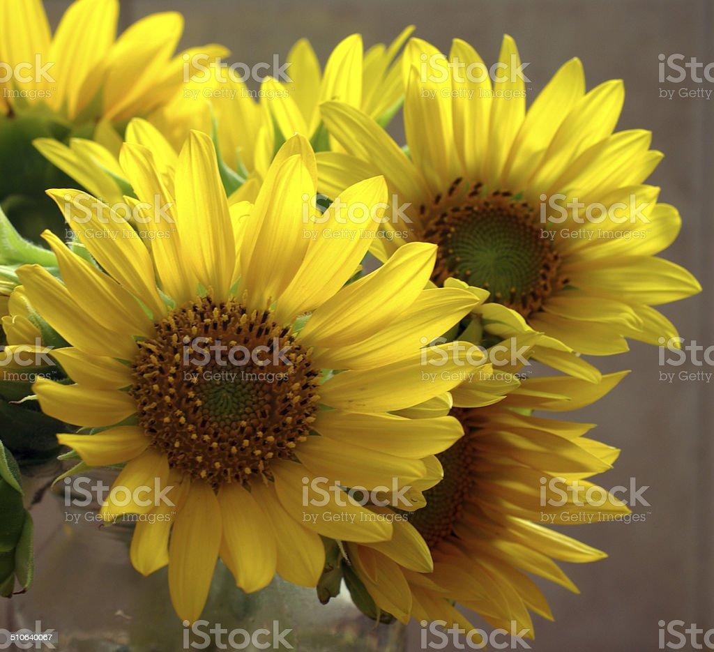 Sunflower Bucket in Jar - Stock Image stock photo