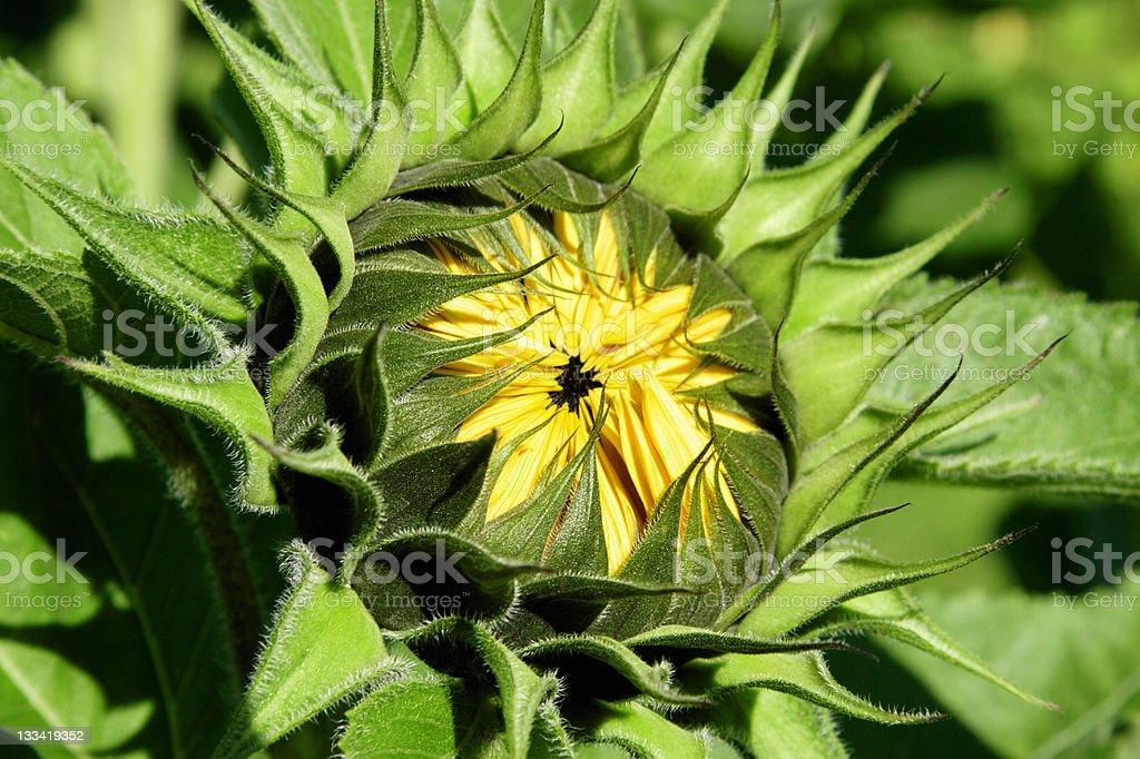 Sunflower bud stock photo