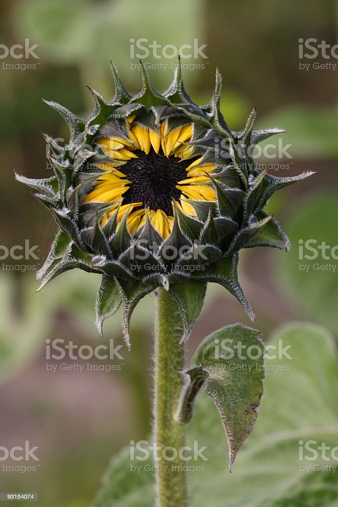 Sunflower Bud royalty-free stock photo