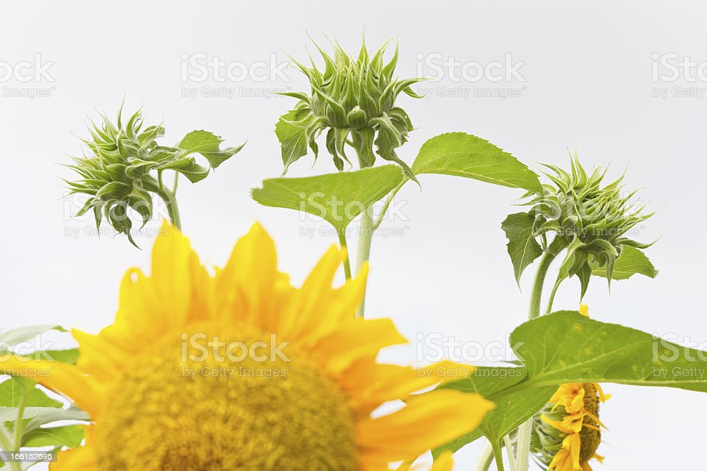 Sunflower buds growing royalty-free stock photo