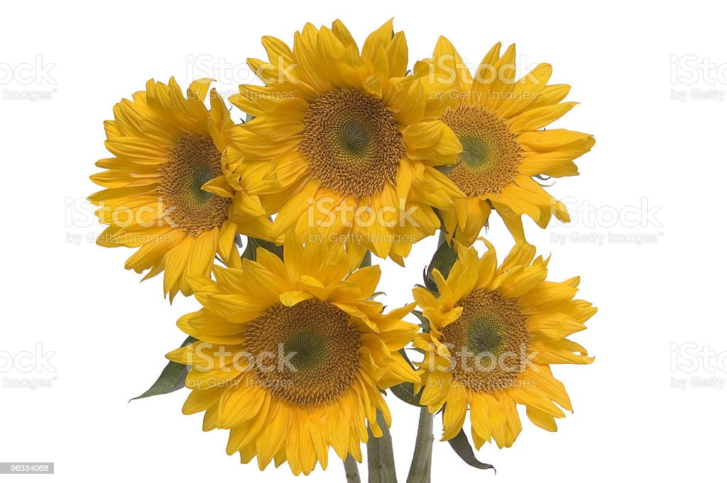 Sunflower Bunch royalty-free stock photo
