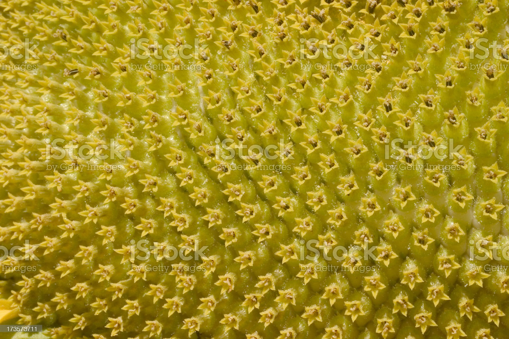 sunflower close up royalty-free stock photo