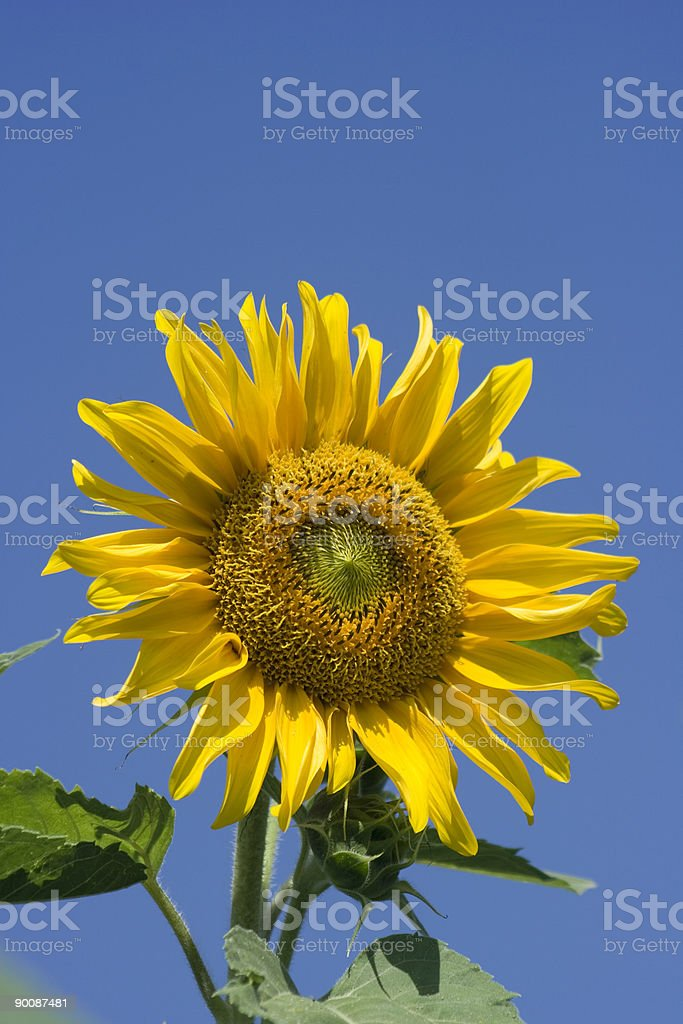 Sunflower Closeup Against a Blue Sky, Vivid Colors royalty-free stock photo
