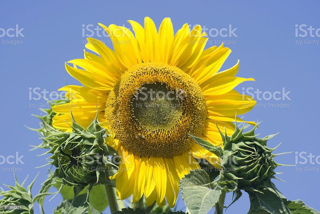 Sunflower Closeup Against a Blue Sky, Vivid Colors royalty-free stock photo