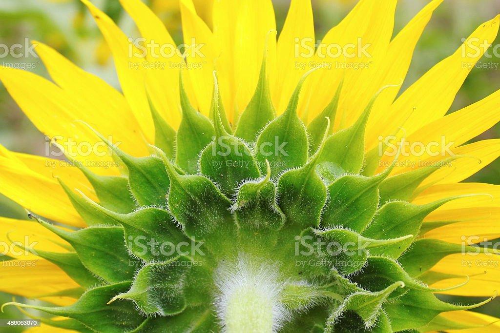 Sunflower closeup detail stock photo