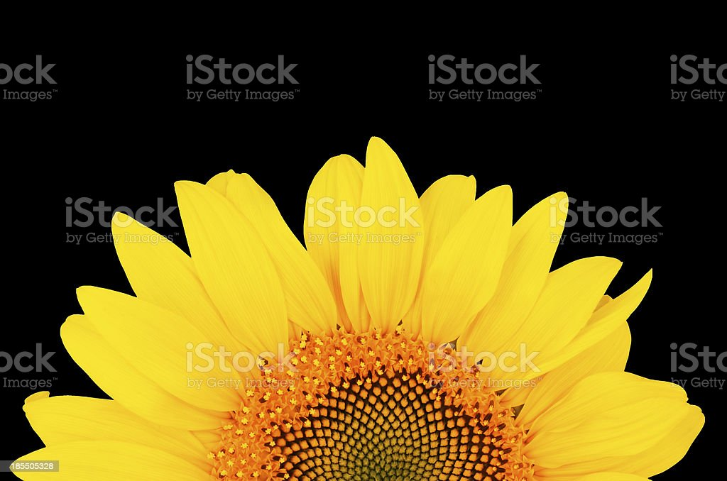 sunflower close-up isolated on black background royalty-free stock photo