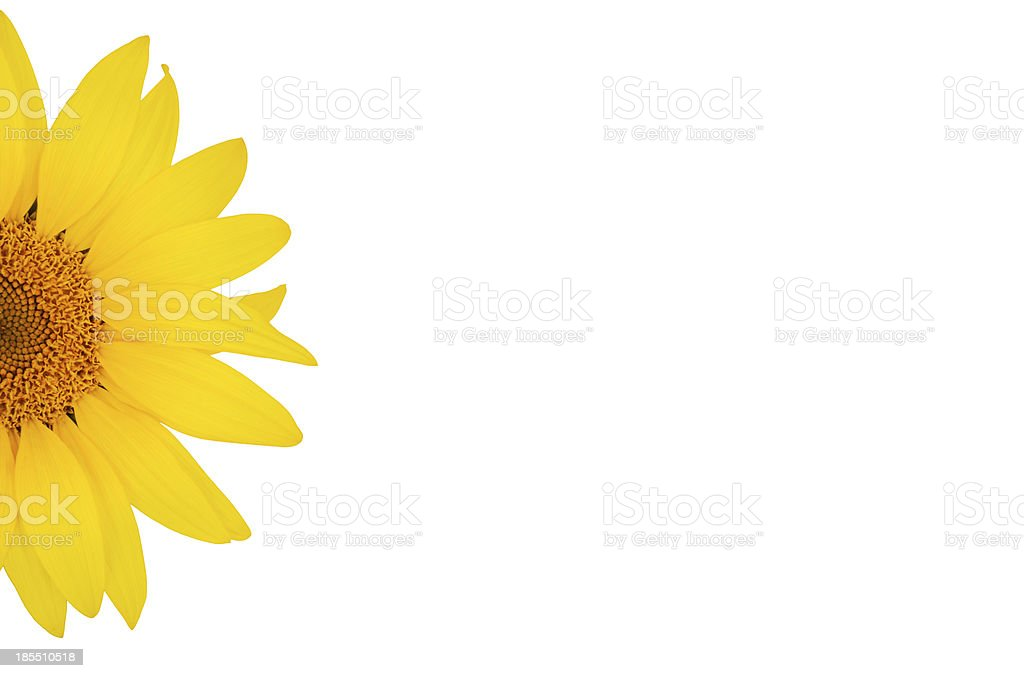 sunflower close-up on the left  isolated white background royalty-free stock photo