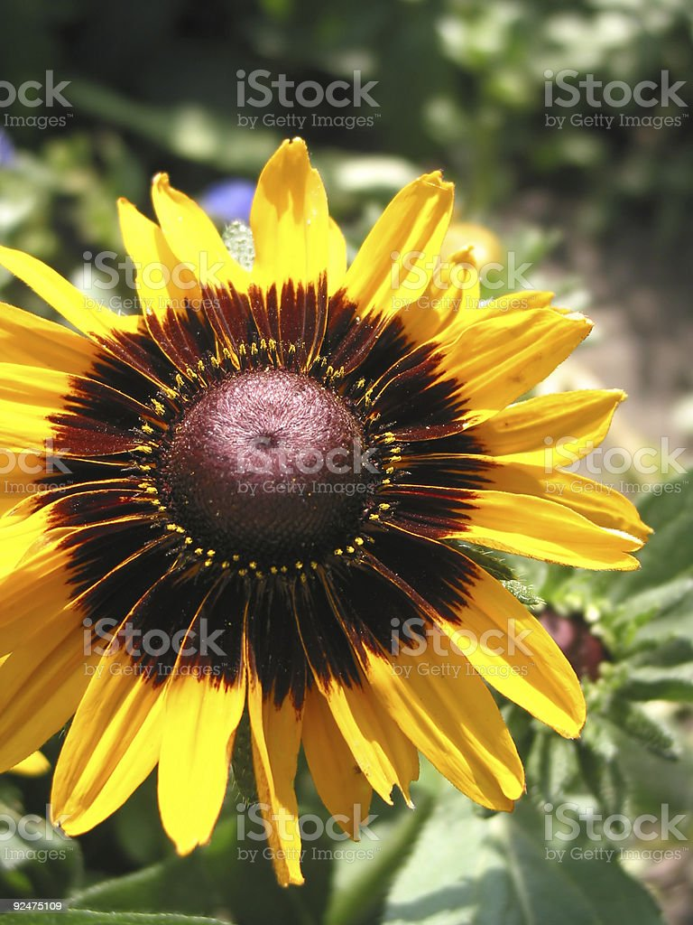 Sunflower close-up royalty-free stock photo