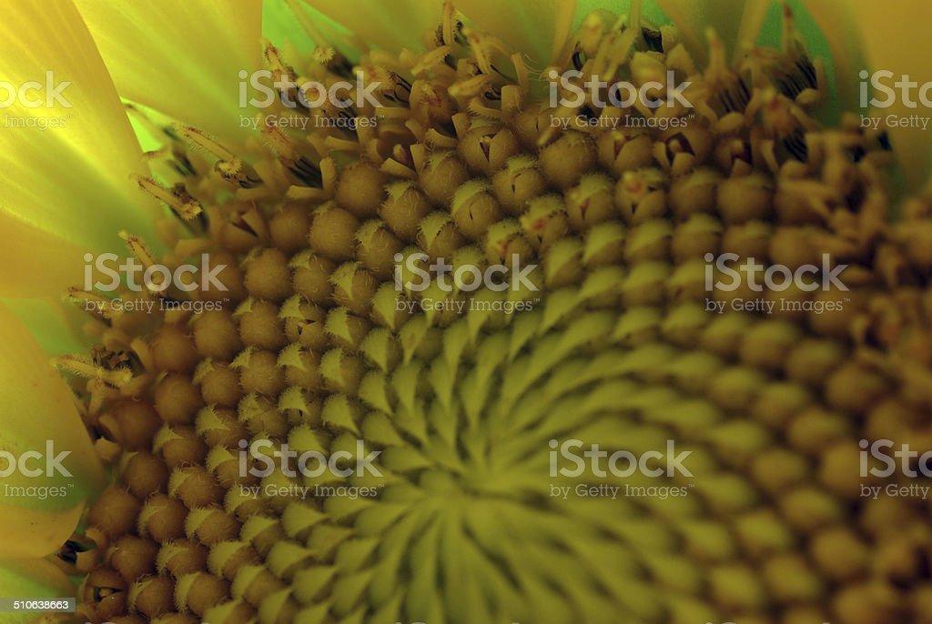 Sunflower Closeup - Stock Image stock photo