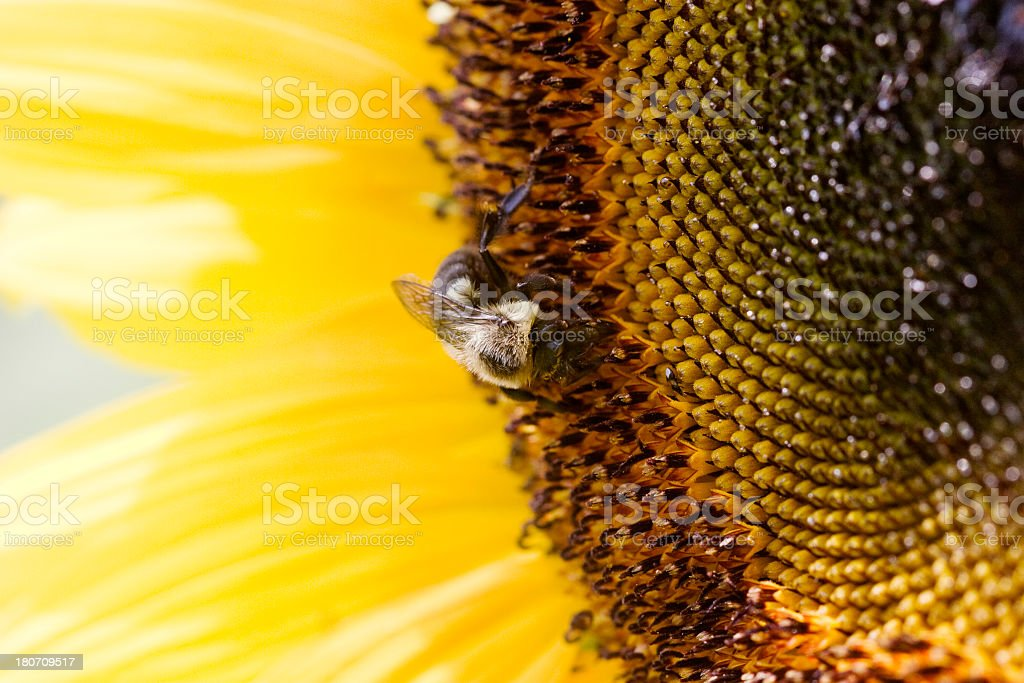 Sunflower Close-up with bee stock photo