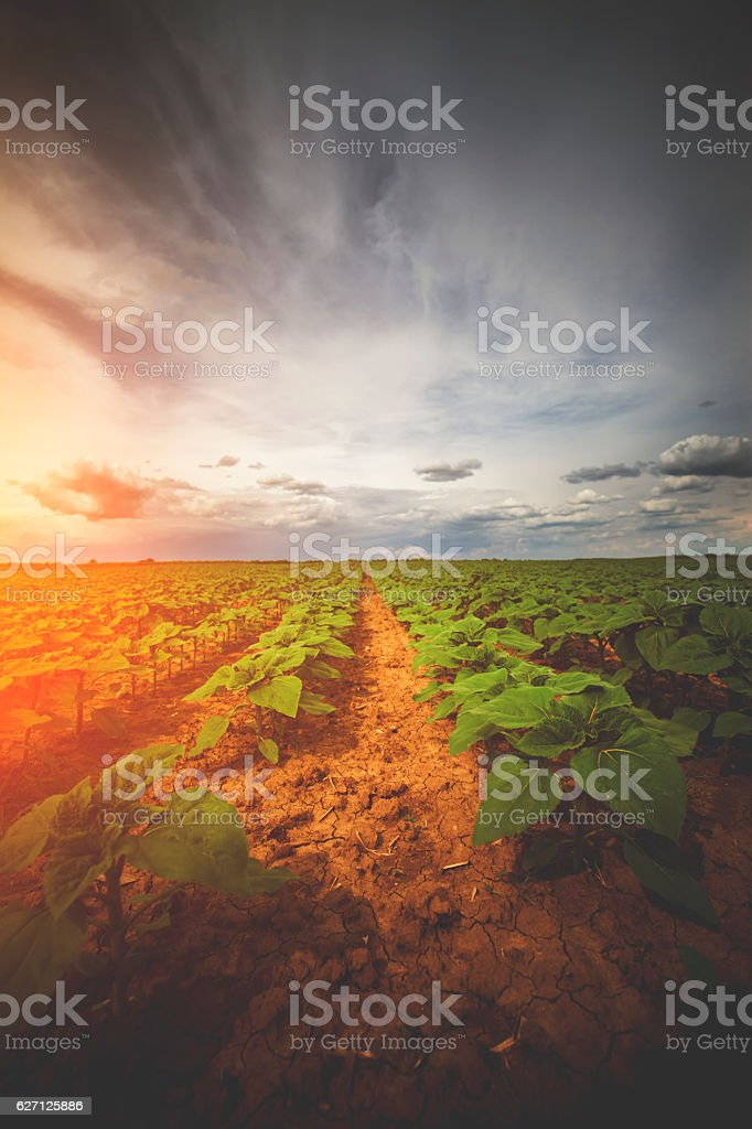 Sunflower Crop in Early Summer stock photo