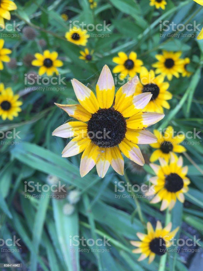 sunflower daisy stock photo