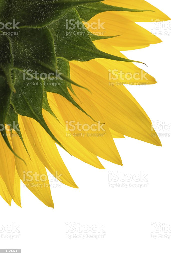 Sunflower detail, isolated on white royalty-free stock photo
