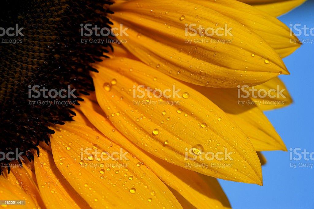 Sunflower detail stock photo