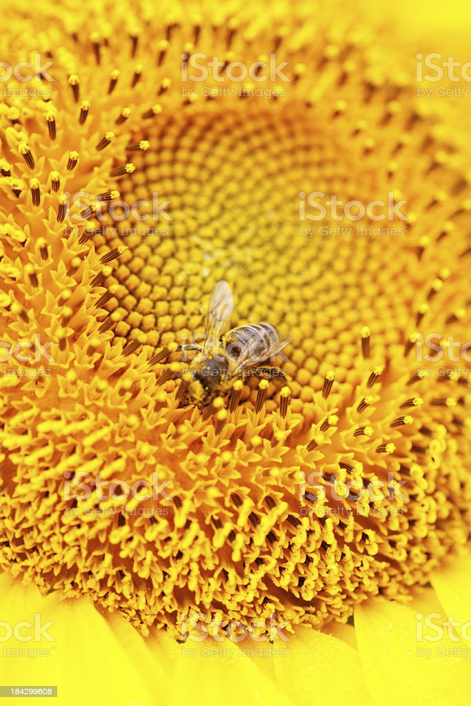 Sunflower Detail With Bee stock photo