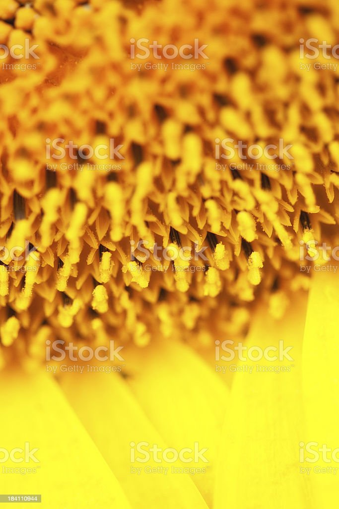 Sunflower Detail With Copy Space stock photo