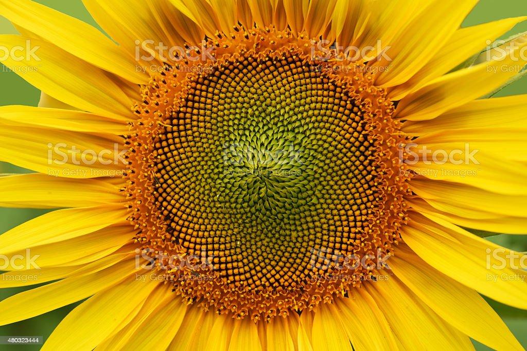 sunflower details stock photo