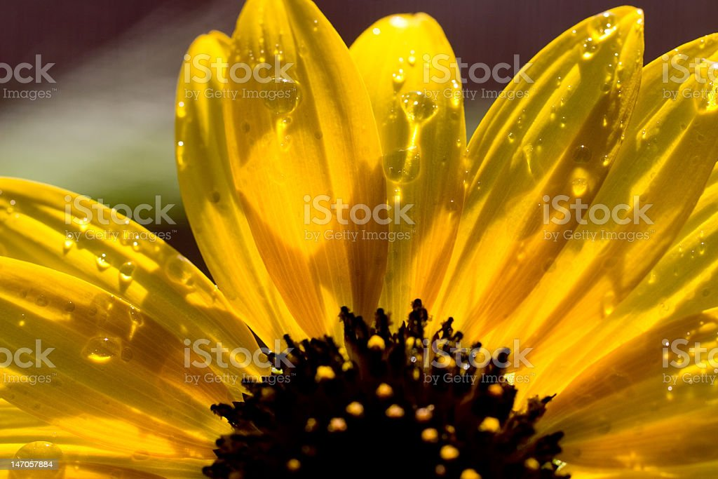 Sunflower Dew Drops stock photo