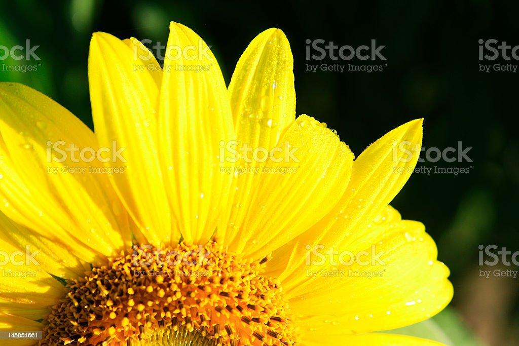 Sunflower Dew stock photo