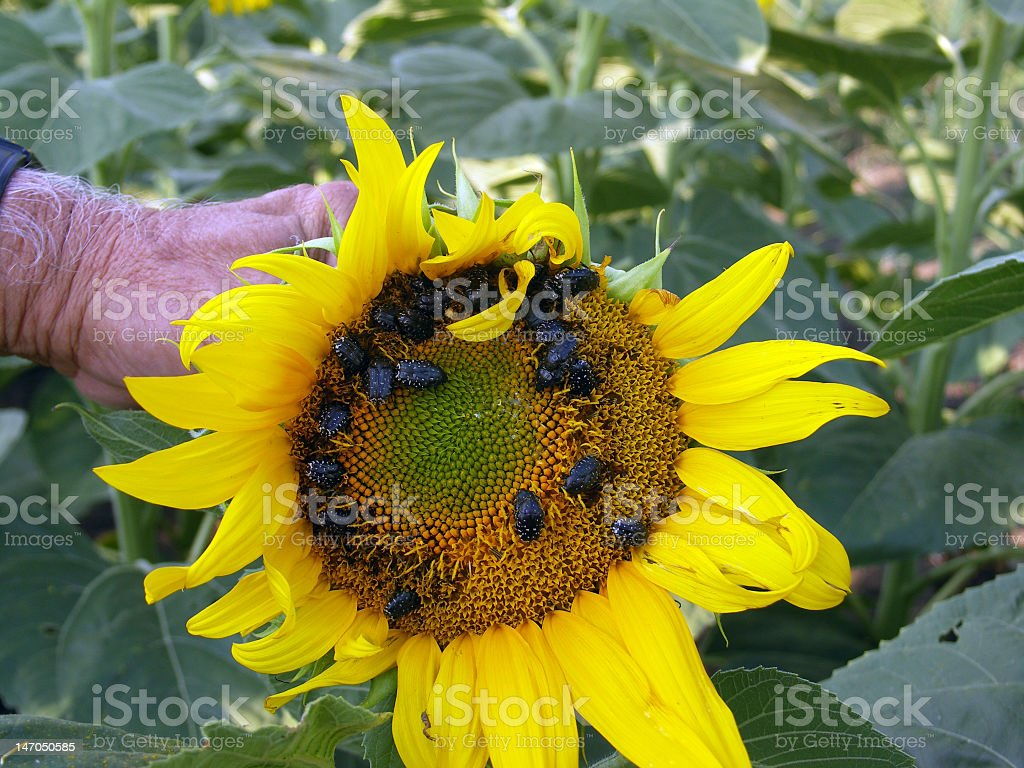 Sunflower disease stock photo