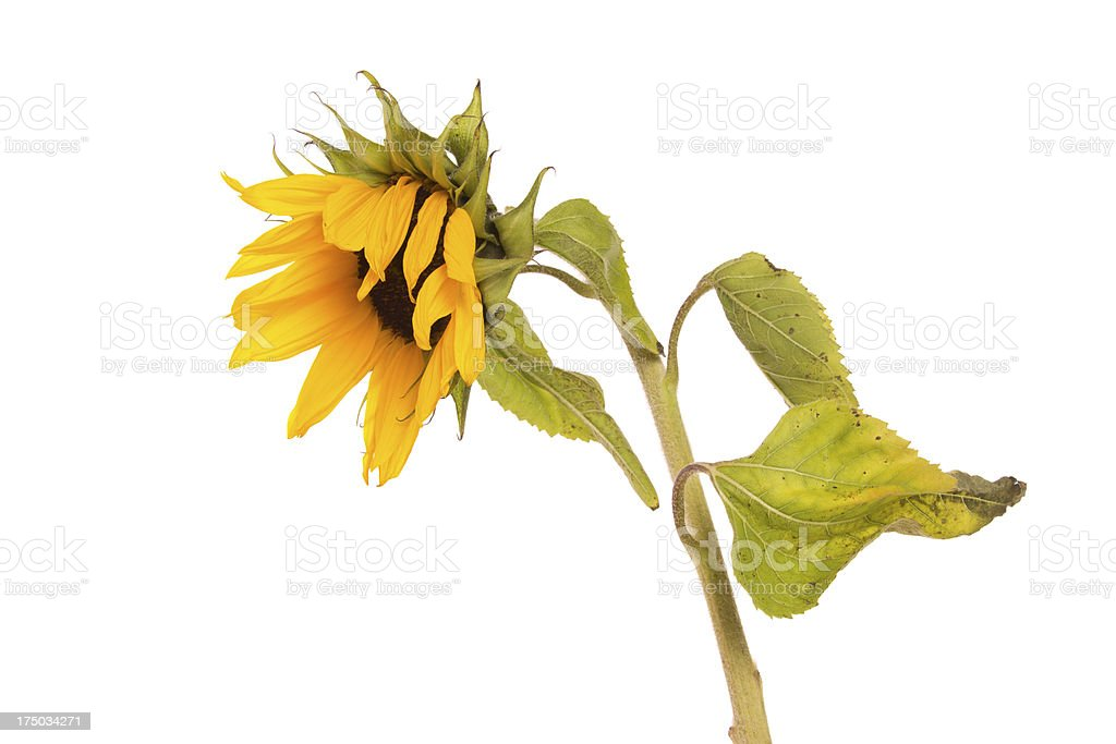 Sunflower Droop stock photo