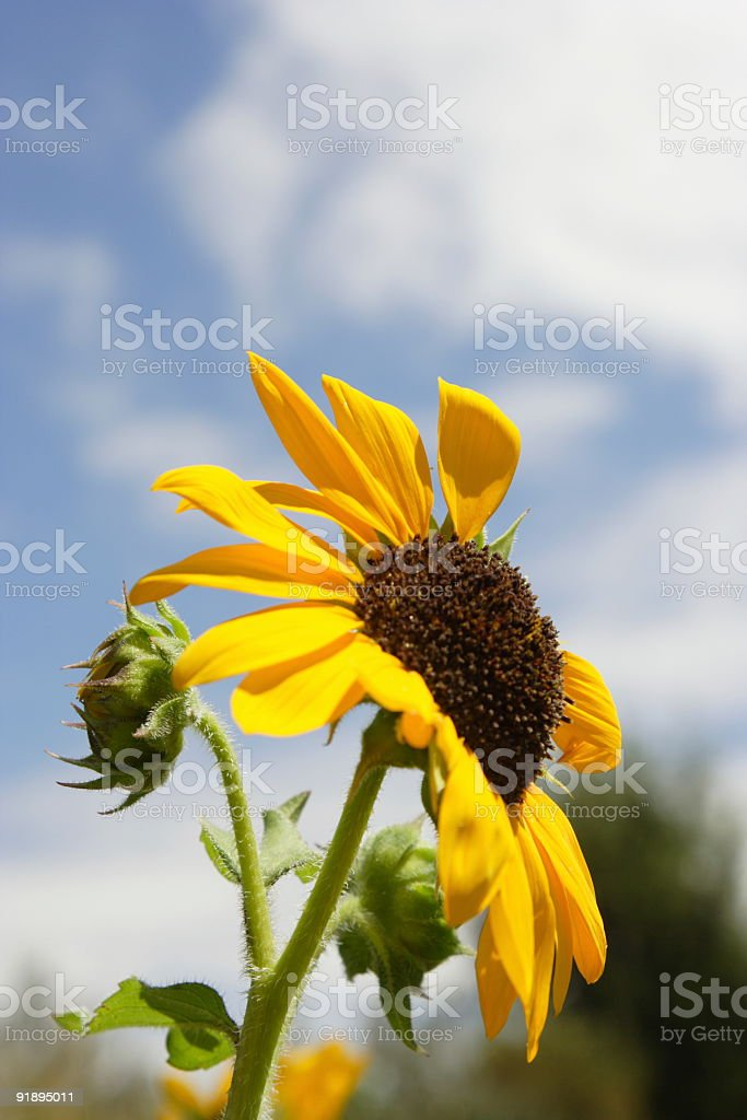 Sunflower facing the Sun stock photo
