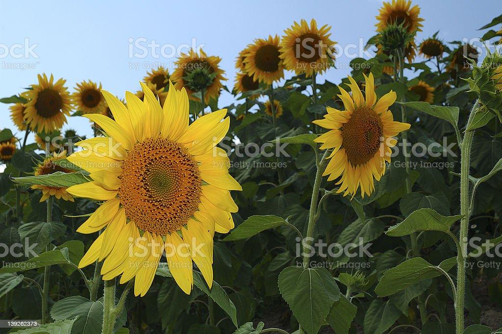 Sunflower Farm II royalty-free stock photo