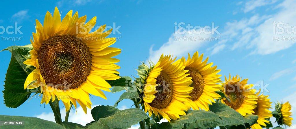 Sunflower Farm stock photo
