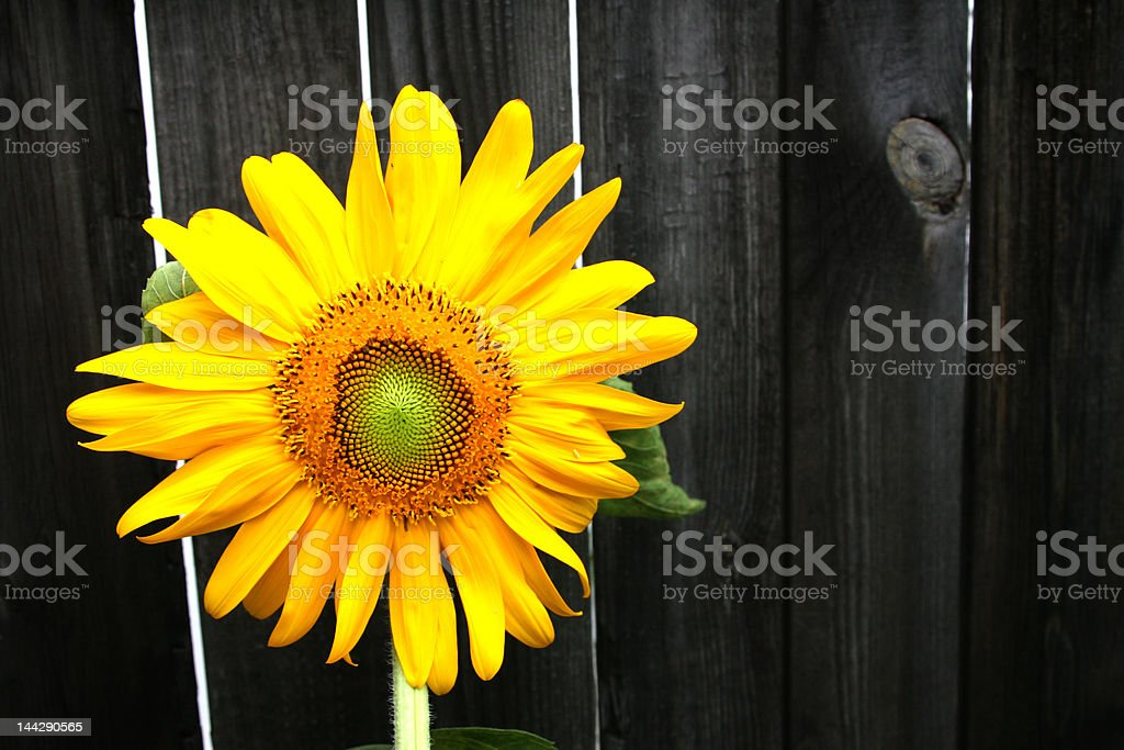 Sunflower Fence royalty-free stock photo
