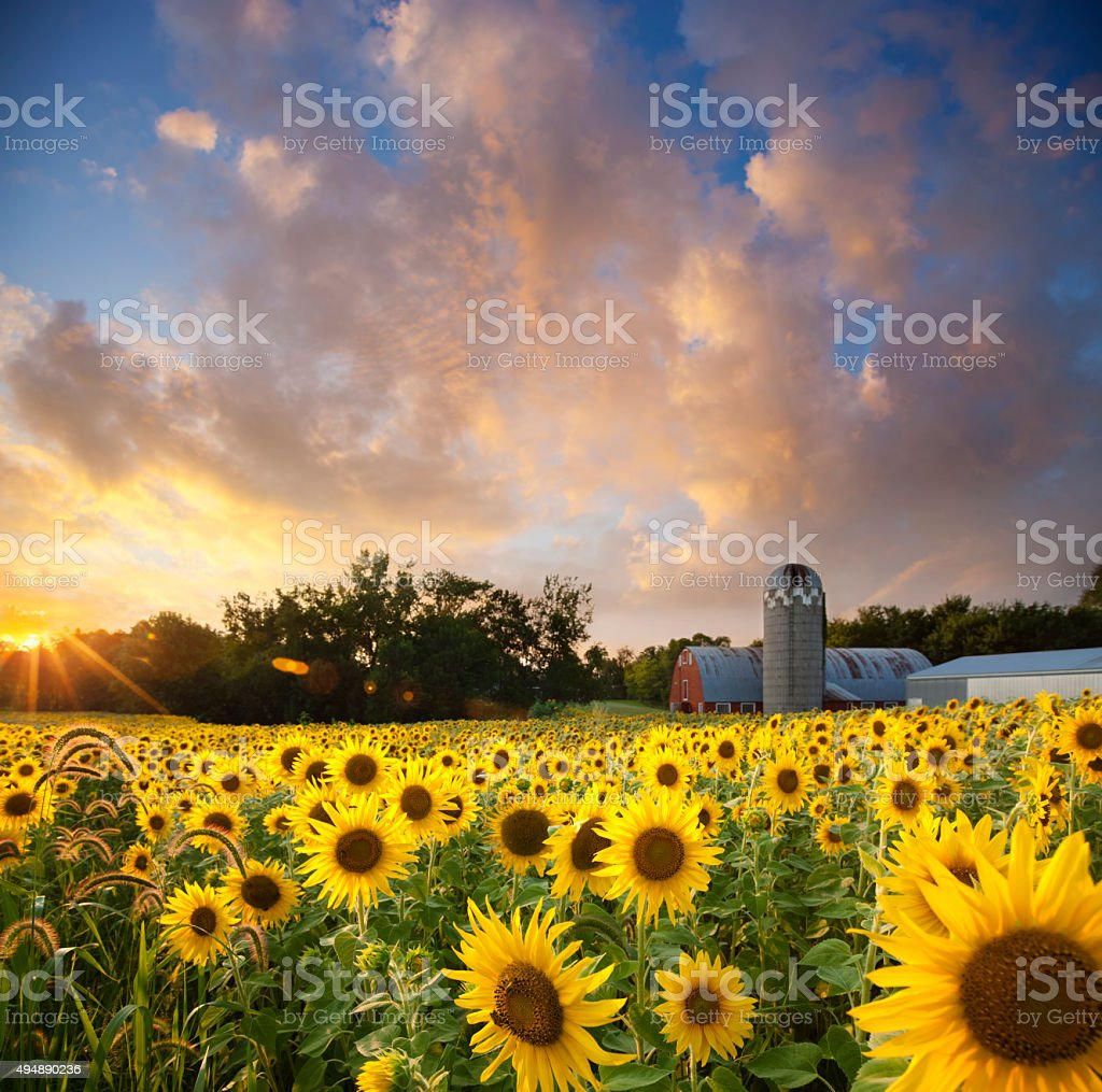 Sunflower Field against a Dreamy Sunset Sky stock photo