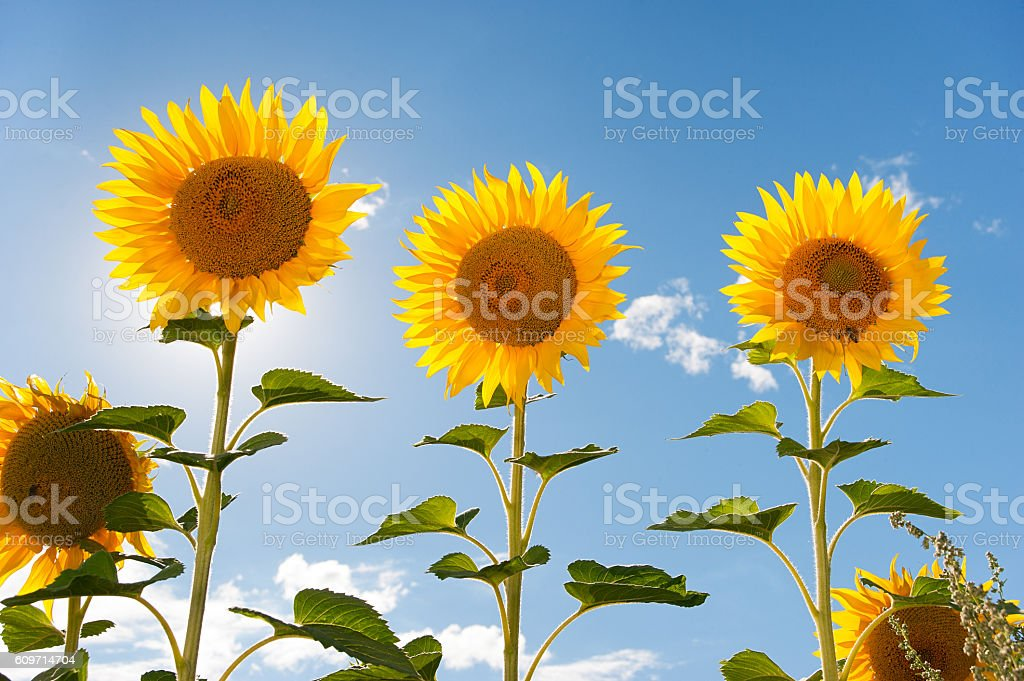 sunflower field against the sky Lizenzfreies stock-foto
