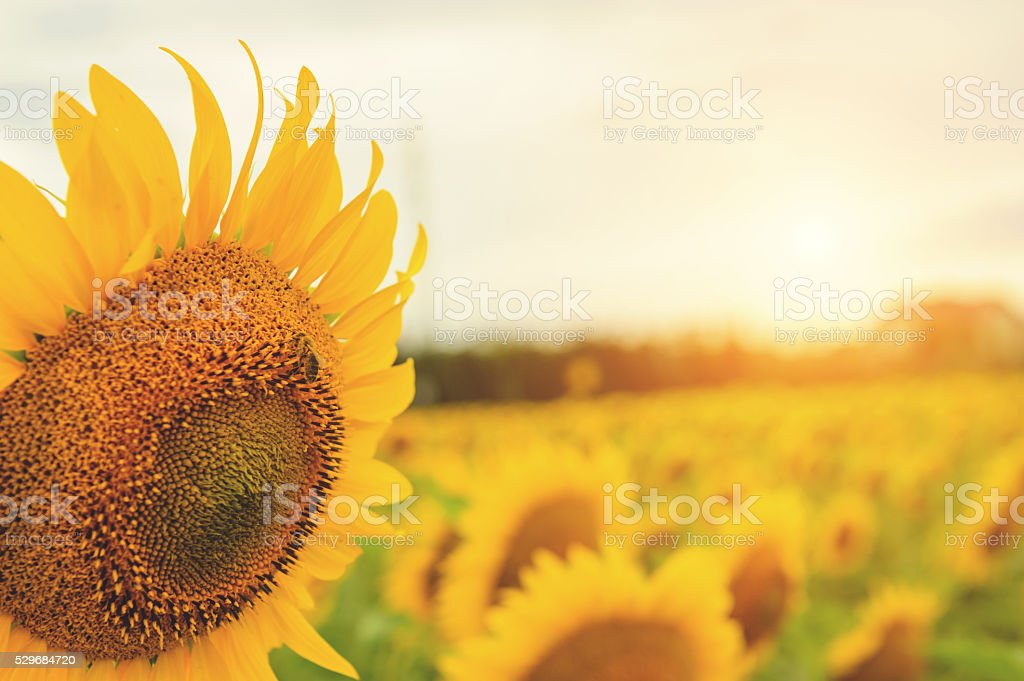 Sunflower field and a bee stock photo