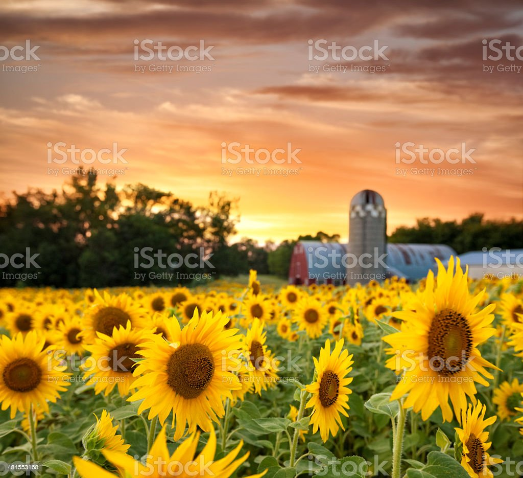 Sunflower Field and a Dramatic Sky in front of Barn stock photo