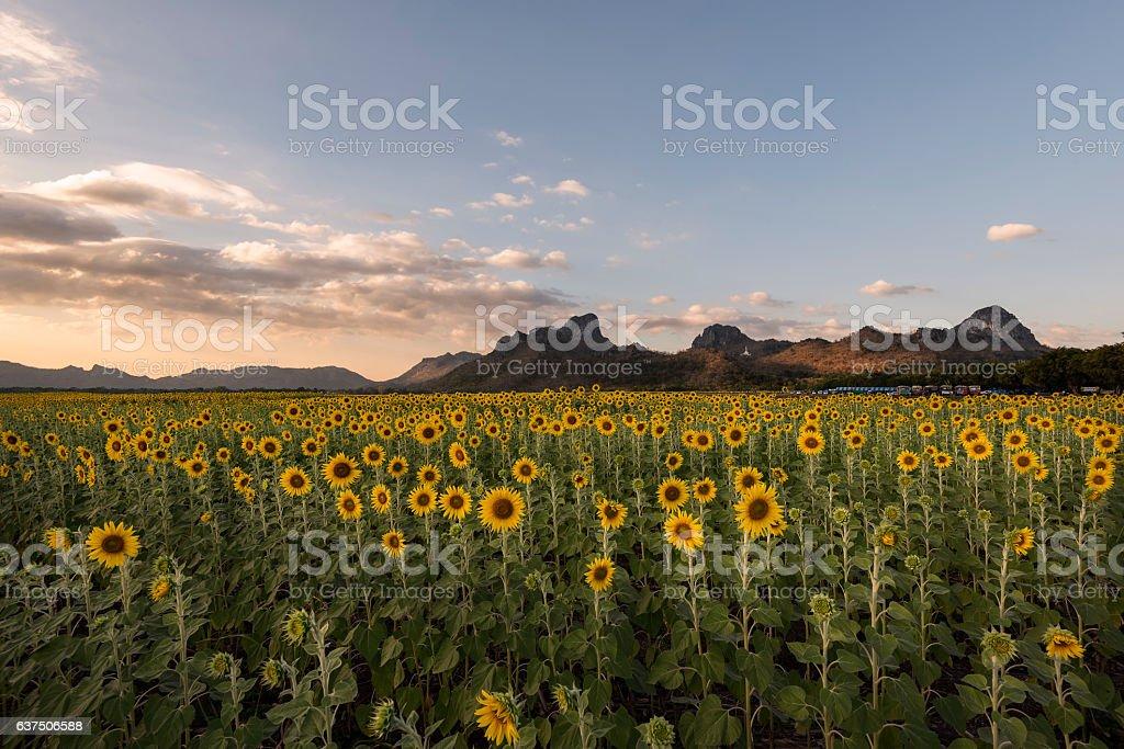 Sunflower field at Khao Chin Lae, Lopburi, Thailand stock photo