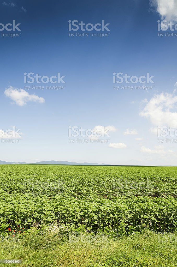 sunflower field background royalty-free stock photo