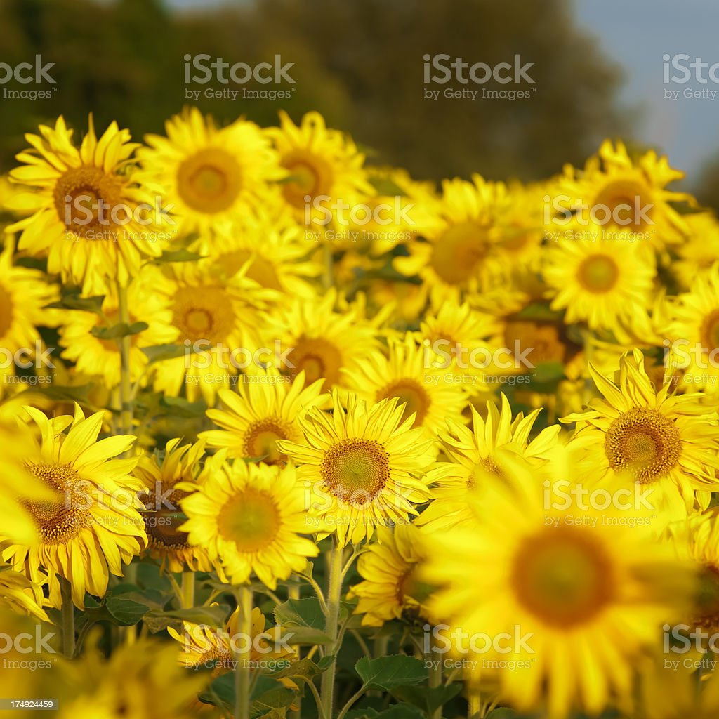 Sunflower field - I royalty-free stock photo