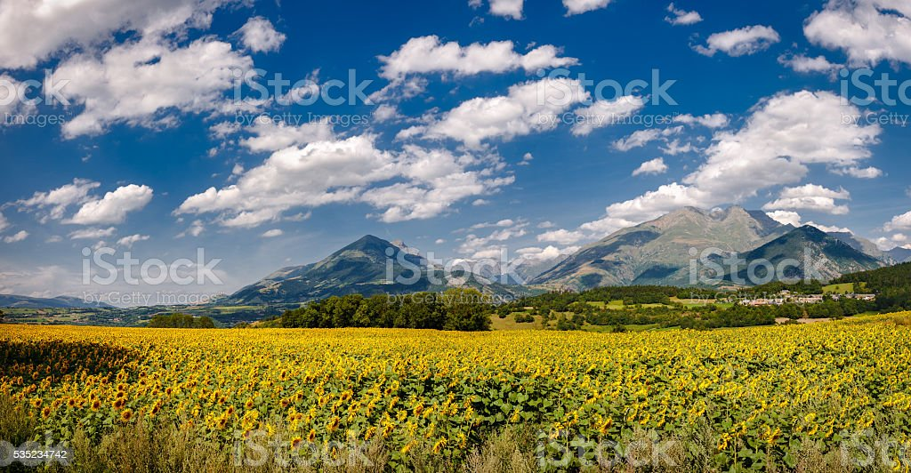 Sunflower field in Summer in Isere, Alps, France stock photo