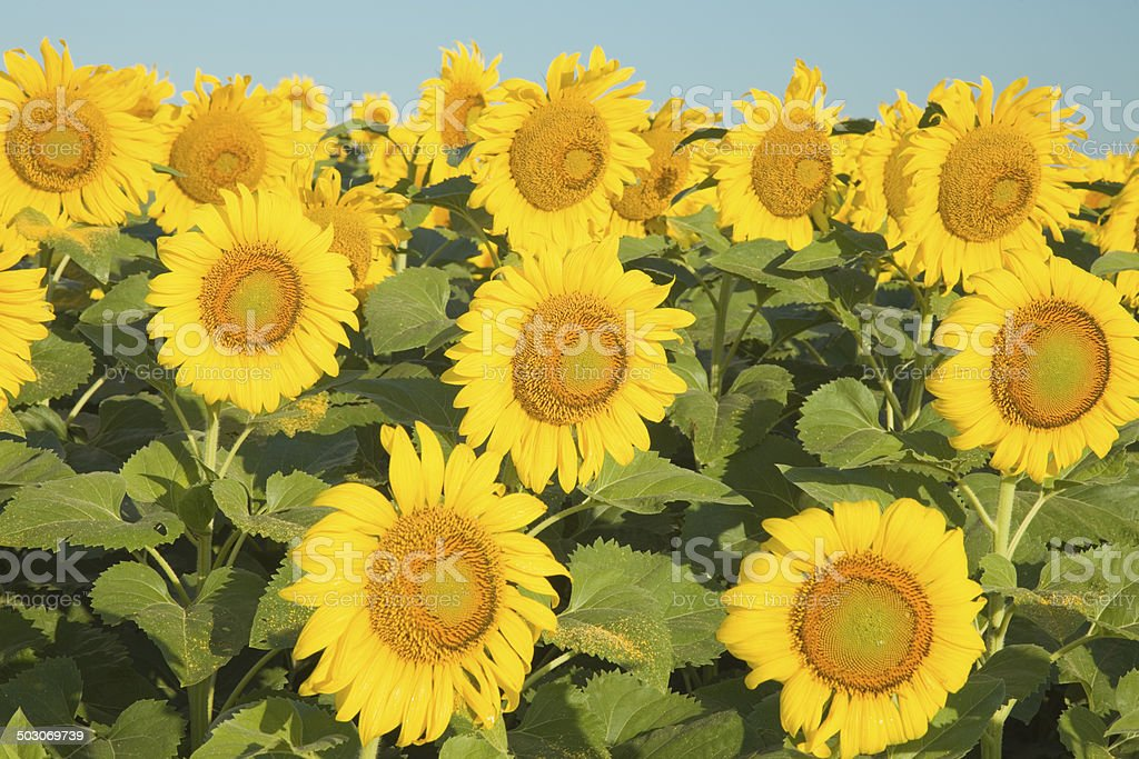 Sunflower field in Texas royalty-free stock photo