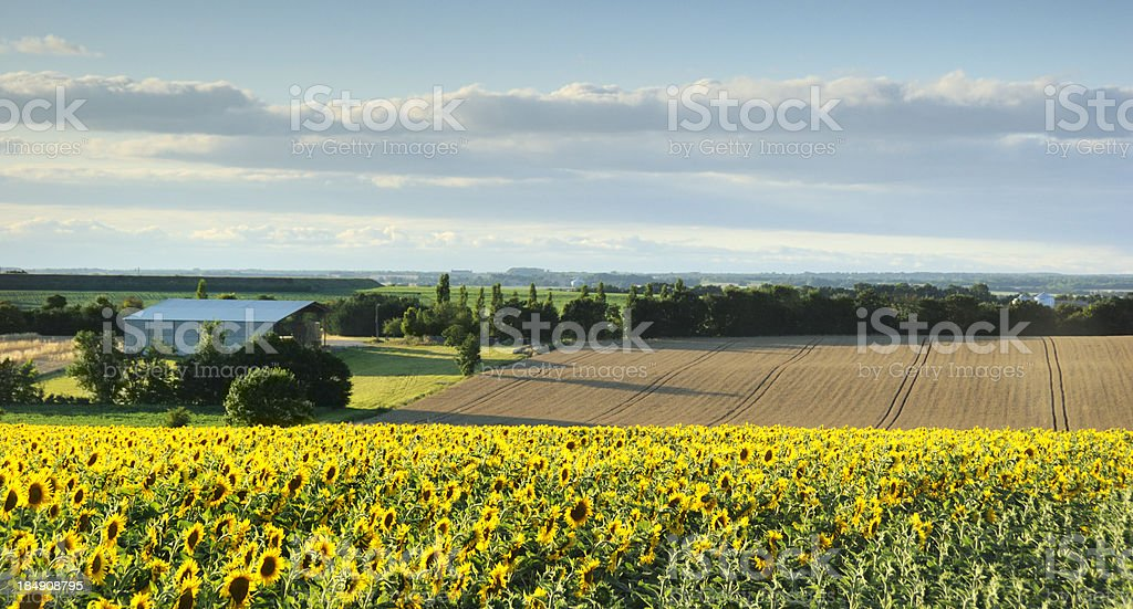 Sunflower Field in the Charente, France stock photo