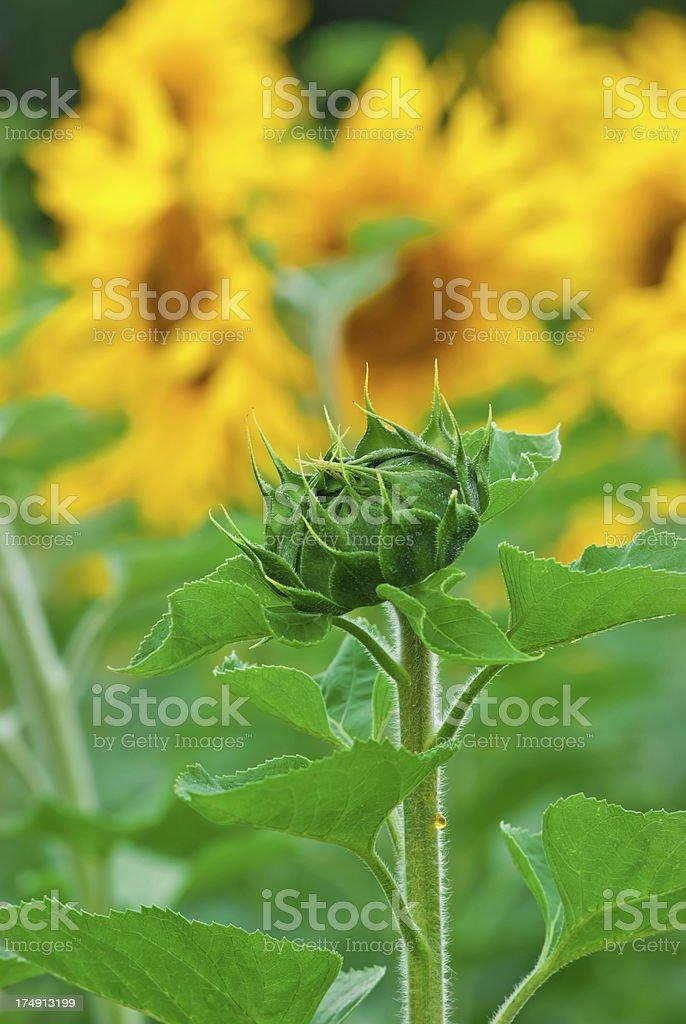 Sunflower field (single un-opened flower head) - IX royalty-free stock photo