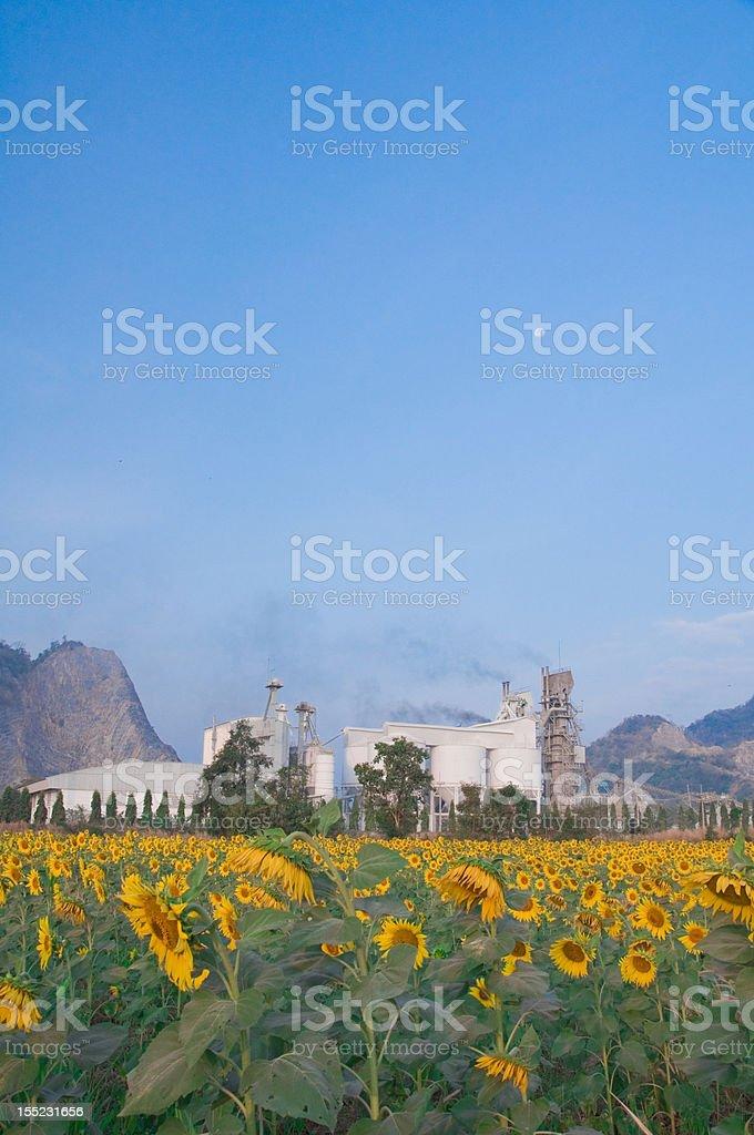 Sunflower field near factory royalty-free stock photo