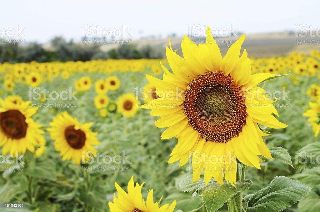 Sunflower field near Odessa,Ukraine royalty-free stock photo