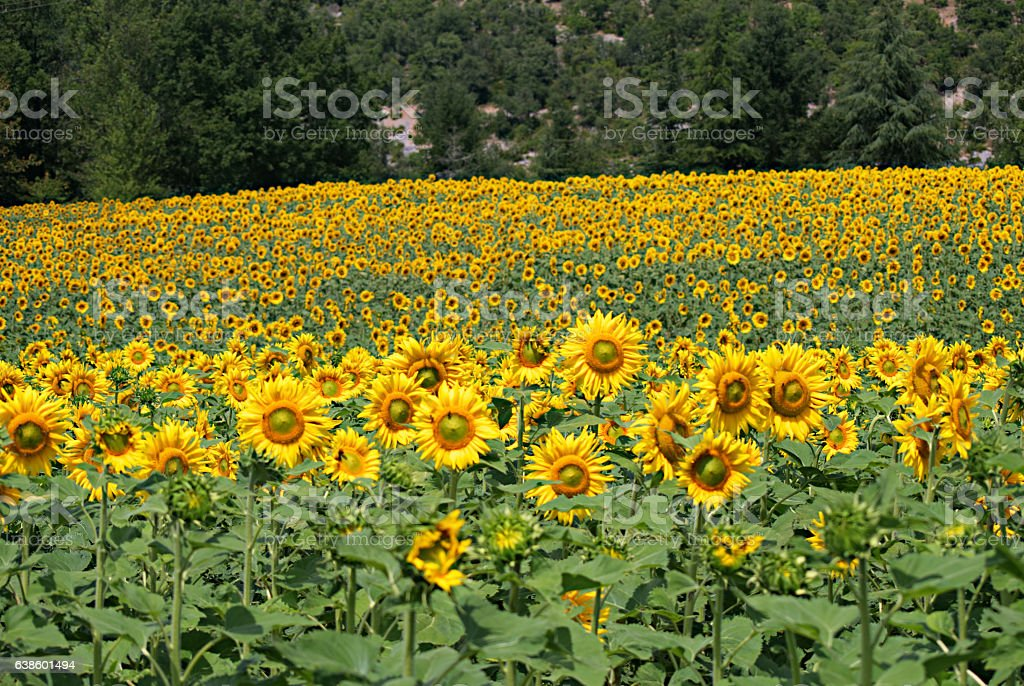 Sunflower Field Near Saint-Cirq-Lapopie A stock photo