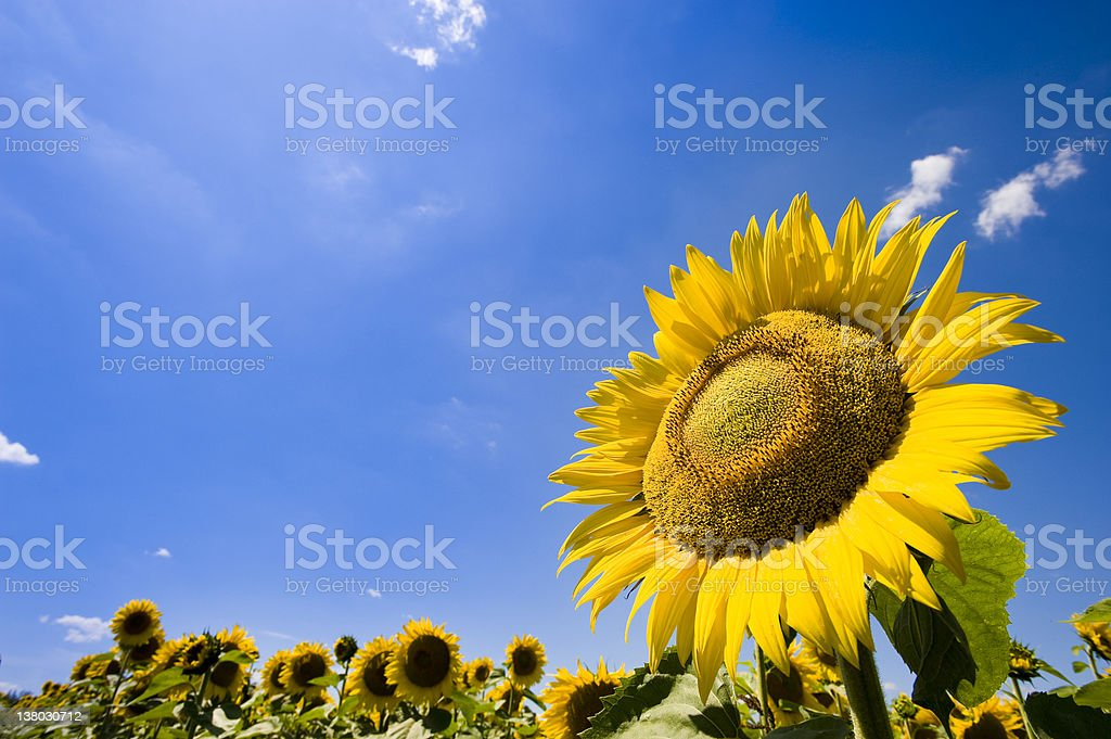 Sunflower field royalty-free stock photo