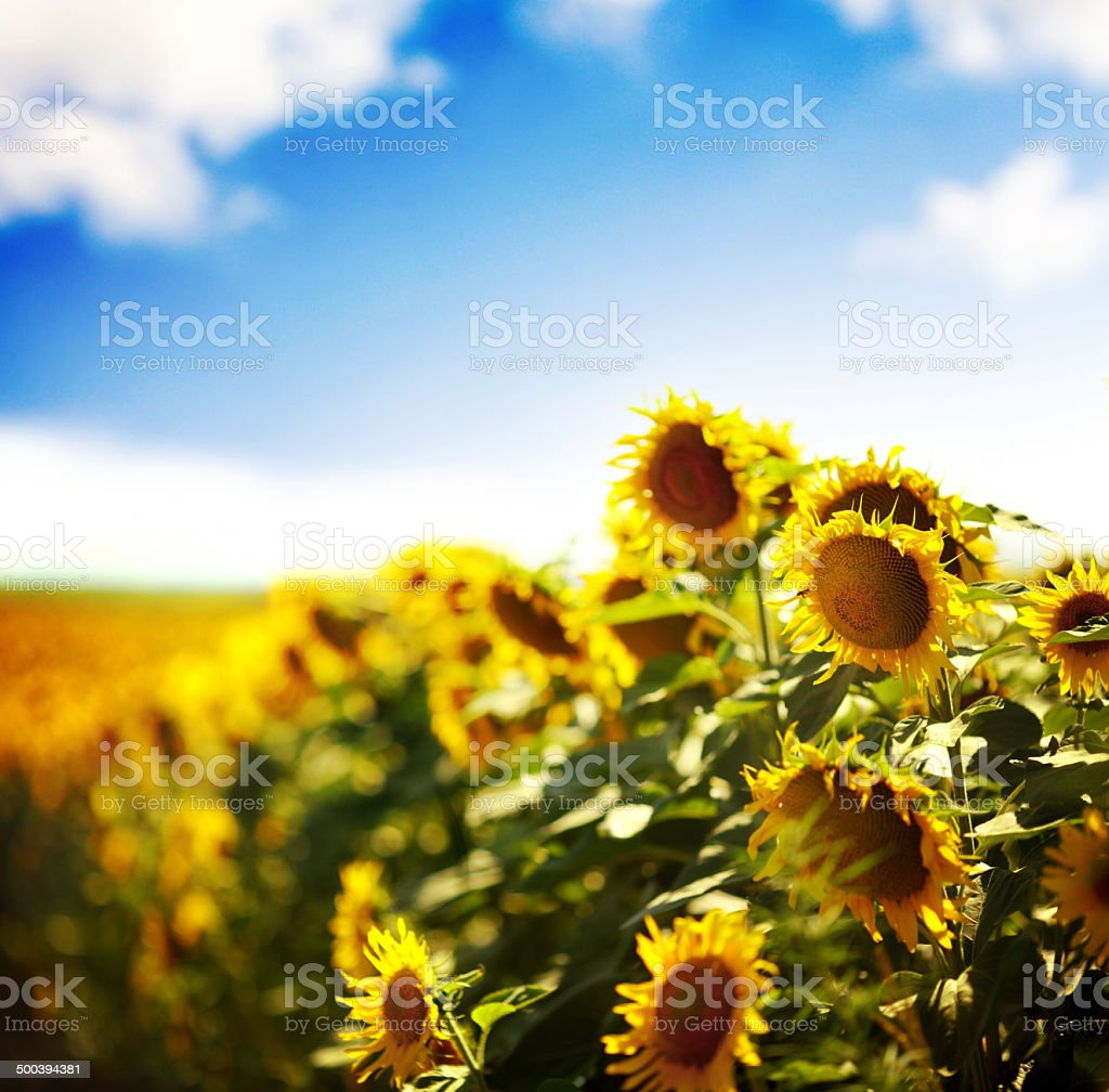 Sunflower field. royalty-free stock photo