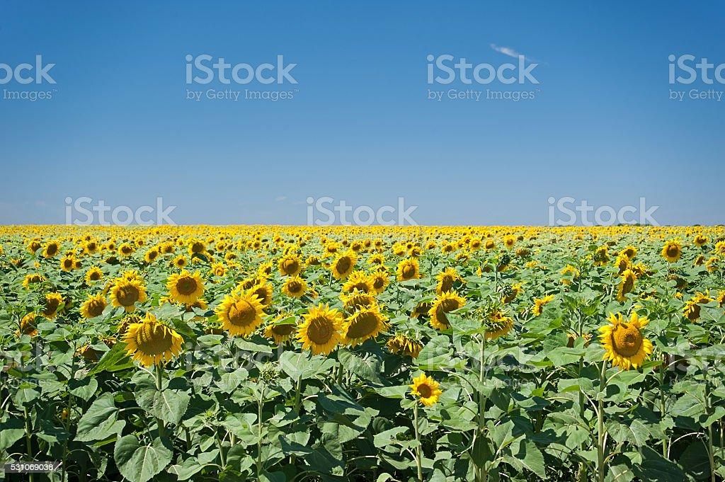 Sonnenblume-Feld Lizenzfreies stock-foto