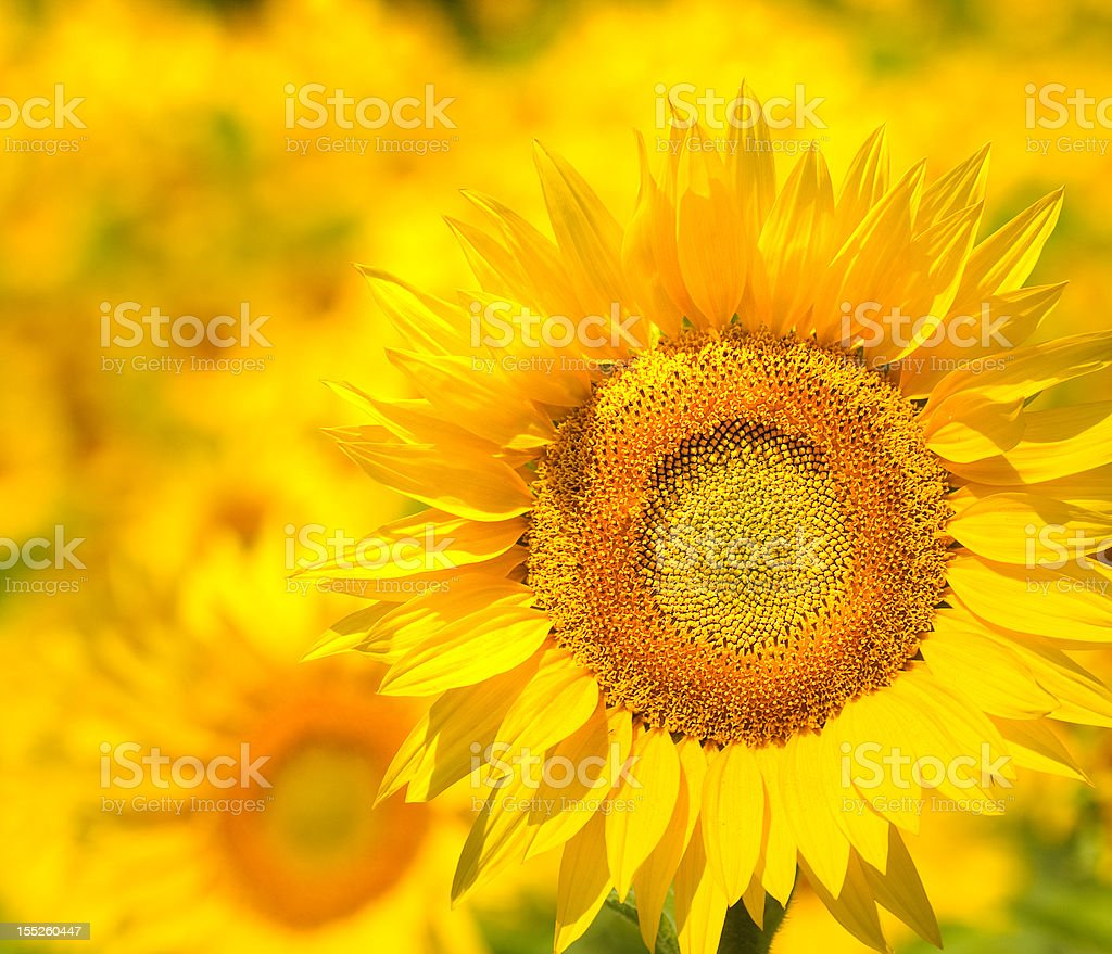 Sunflower field, Provence, France, shallow focus royalty-free stock photo