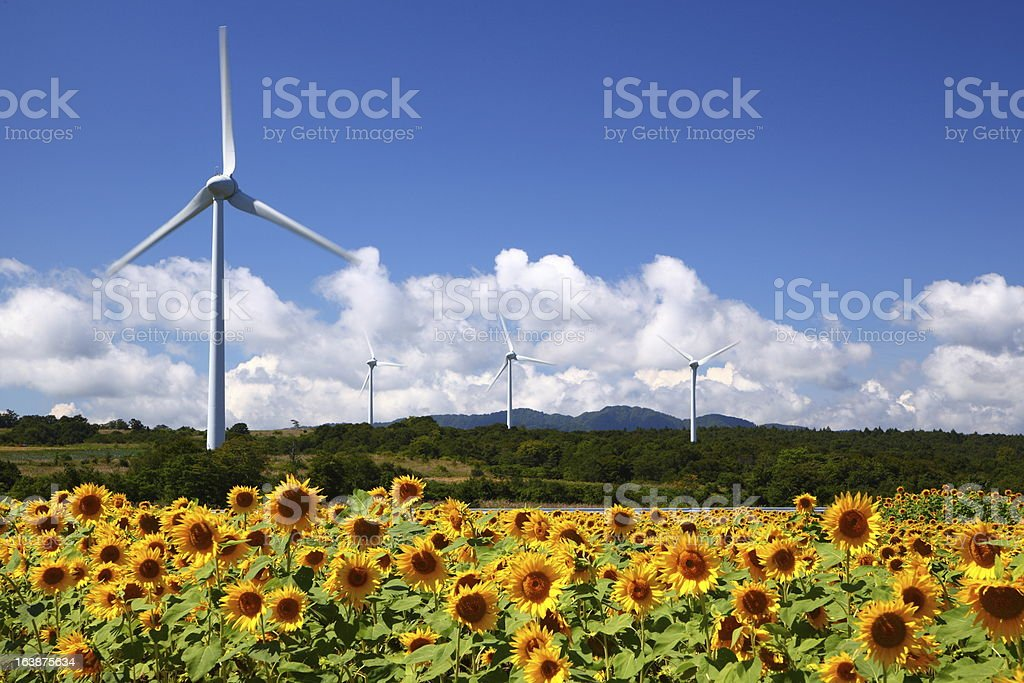 Sunflower field with windmill stock photo