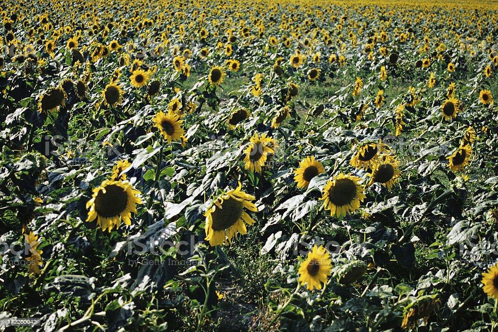 Sunflower field XXLarge stock photo