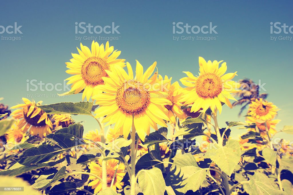 Sunflower Fields in Lopburi Thailand Landscape stock photo